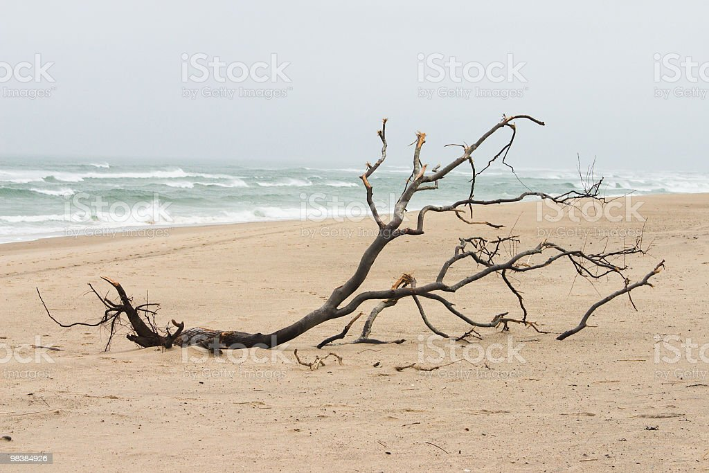 Tree Washed up on Beach royalty-free stock photo
