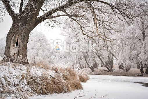 Rural winter picture of an old tree near the river