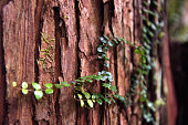 Red bark of a kauri tree with a green climbing plant in cutout.