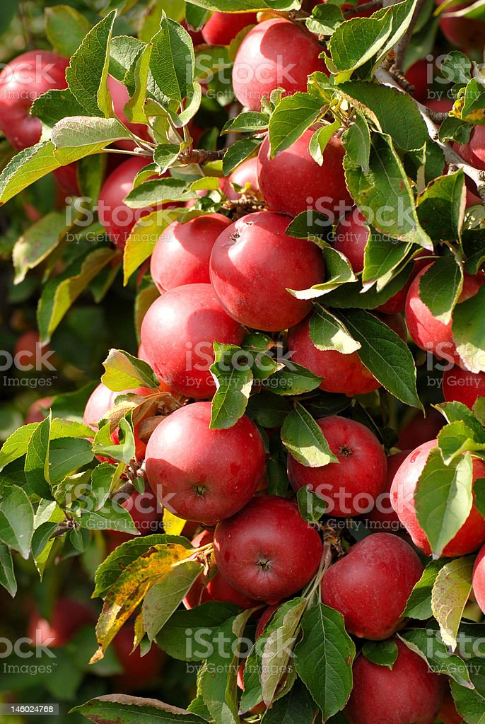 Tree with a cluster of apples royalty-free stock photo