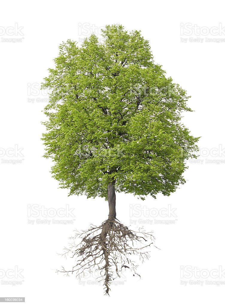 Tree with a root stock photo