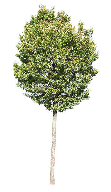 Tree with clipping path stock photo