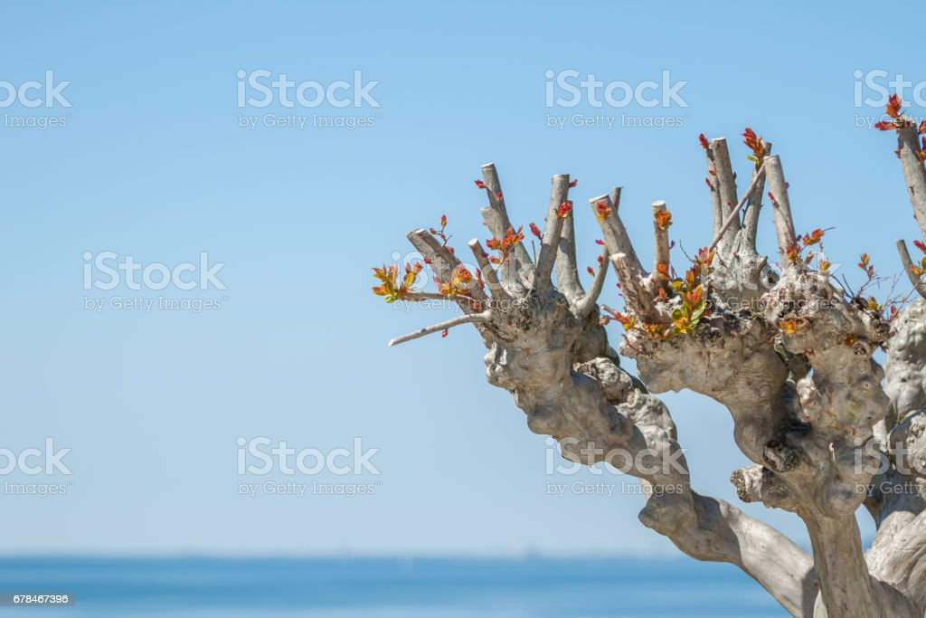 tree with cut off branches sky background royalty-free stock photo