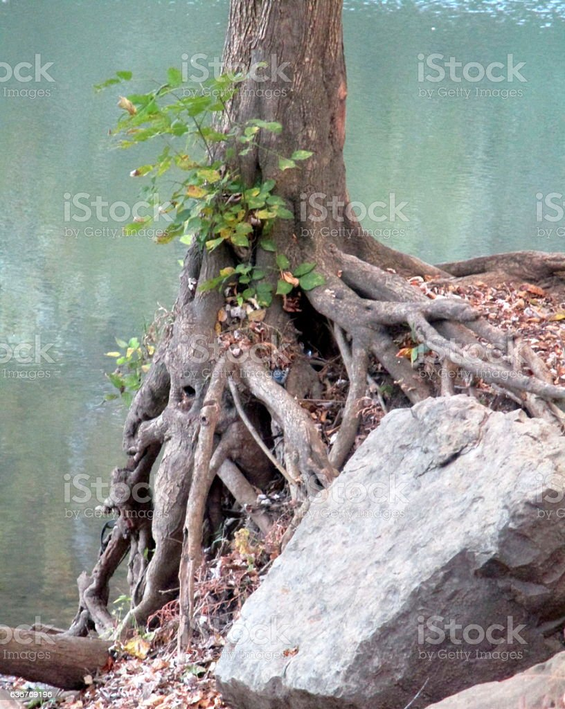 Tree with Exposed Roots on a River Bank stock photo