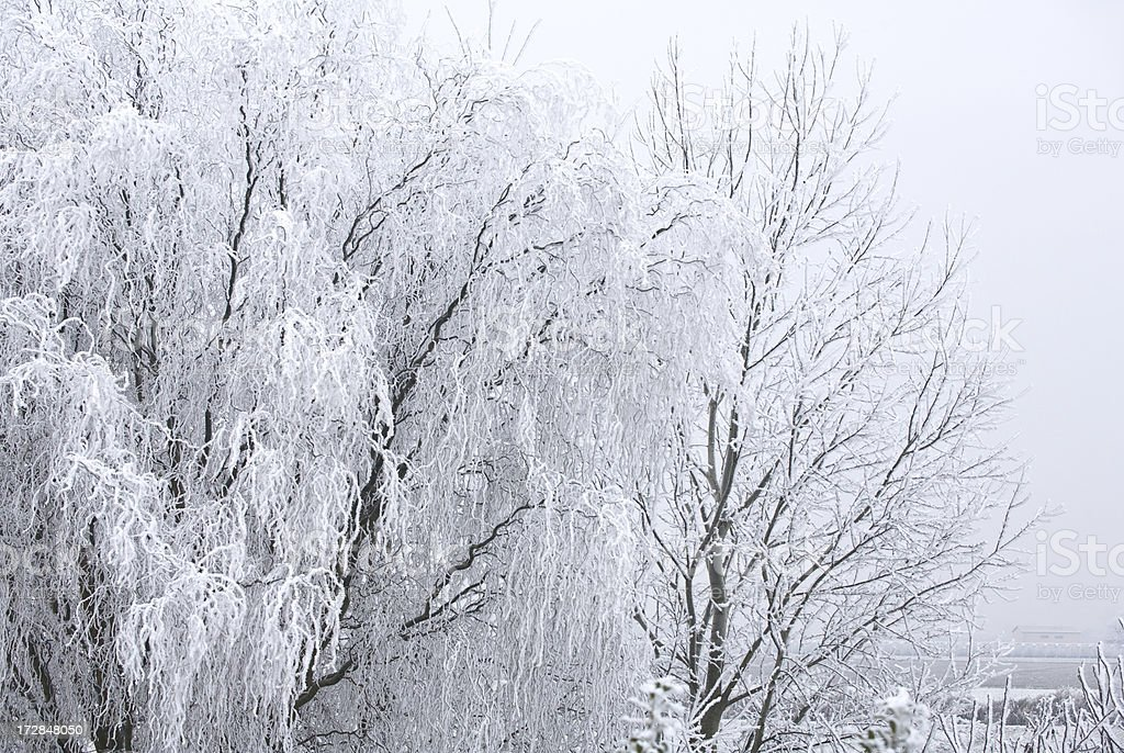 Tree with frosty foliage royalty-free stock photo