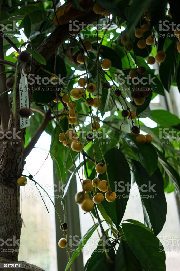 arbre avec des fruits de birma raisin baccaurea ramiflora - Photo