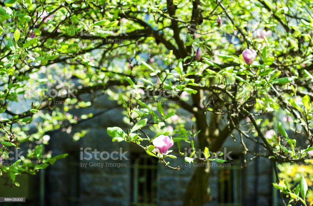 Tree with magnolia flowers stock photo