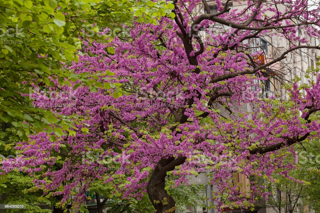 tree with pink blossoms - Royalty-free April Stock Photo