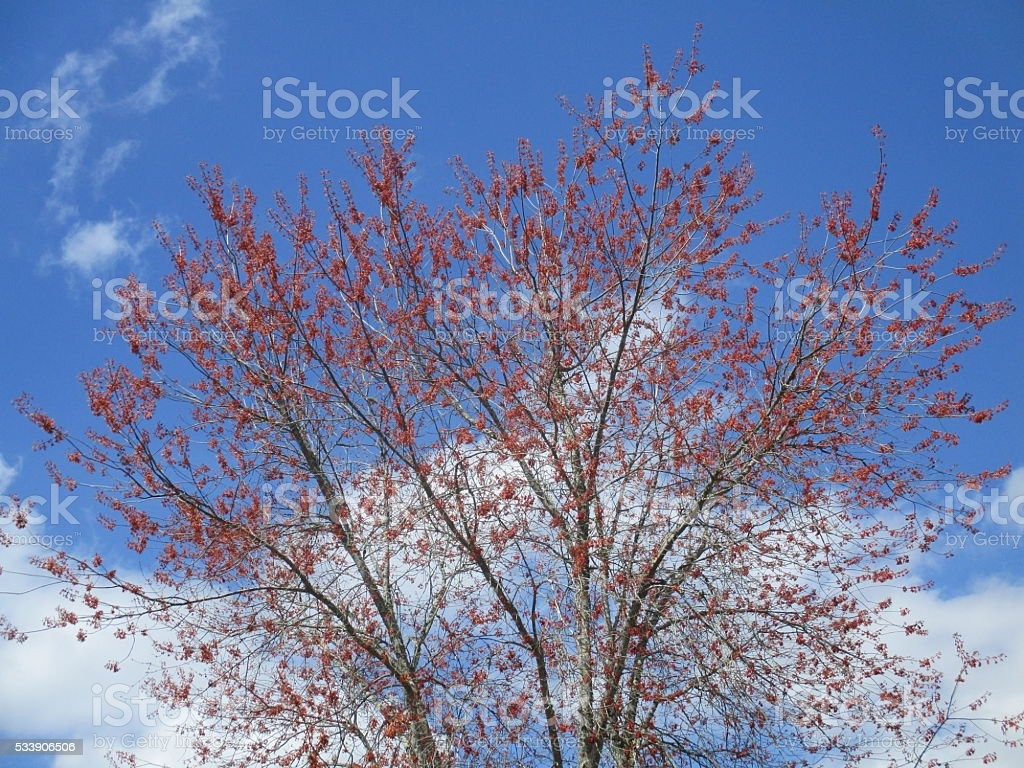 Tree with Red Buds Against Blue Sky in Spring stock photo