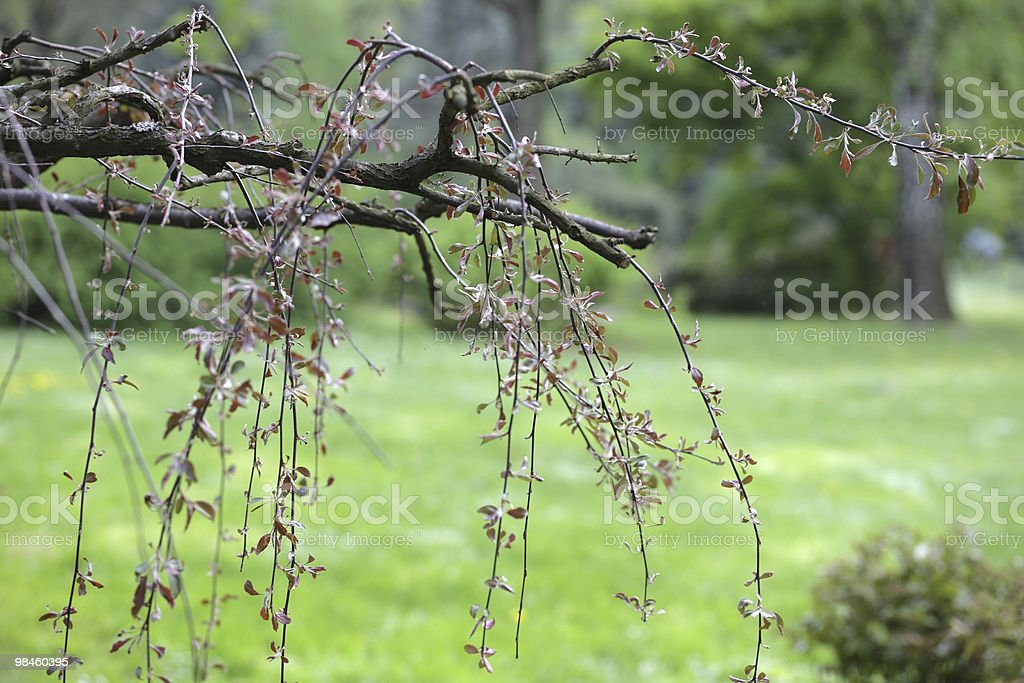 tree with red leafs in japan garden royalty-free stock photo