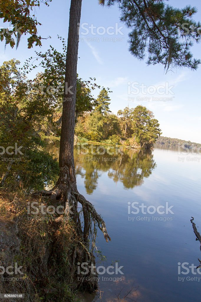 Tree with roots exposed stock photo