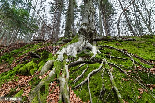 Tree with beautiful roots. Spring in the beech forest. Cloudy day. Carpathians, Ukraine, Europe