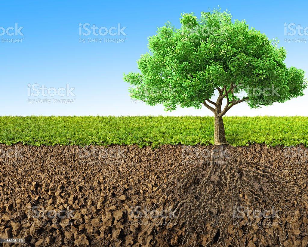 Arbre avec des racines - Photo