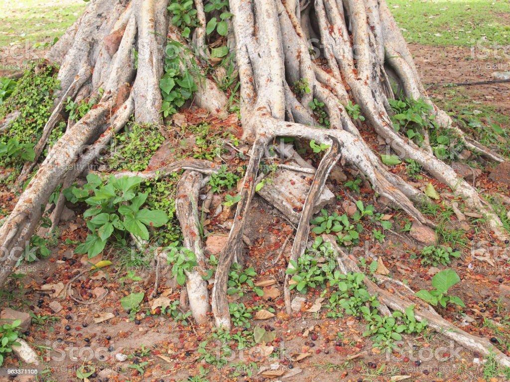 tree with roots - Zbiór zdjęć royalty-free (Bez ludzi)