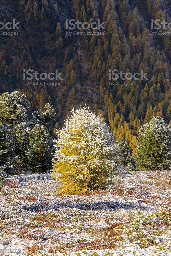 tree with snow in autumn zbiór zdjęć royalty-free