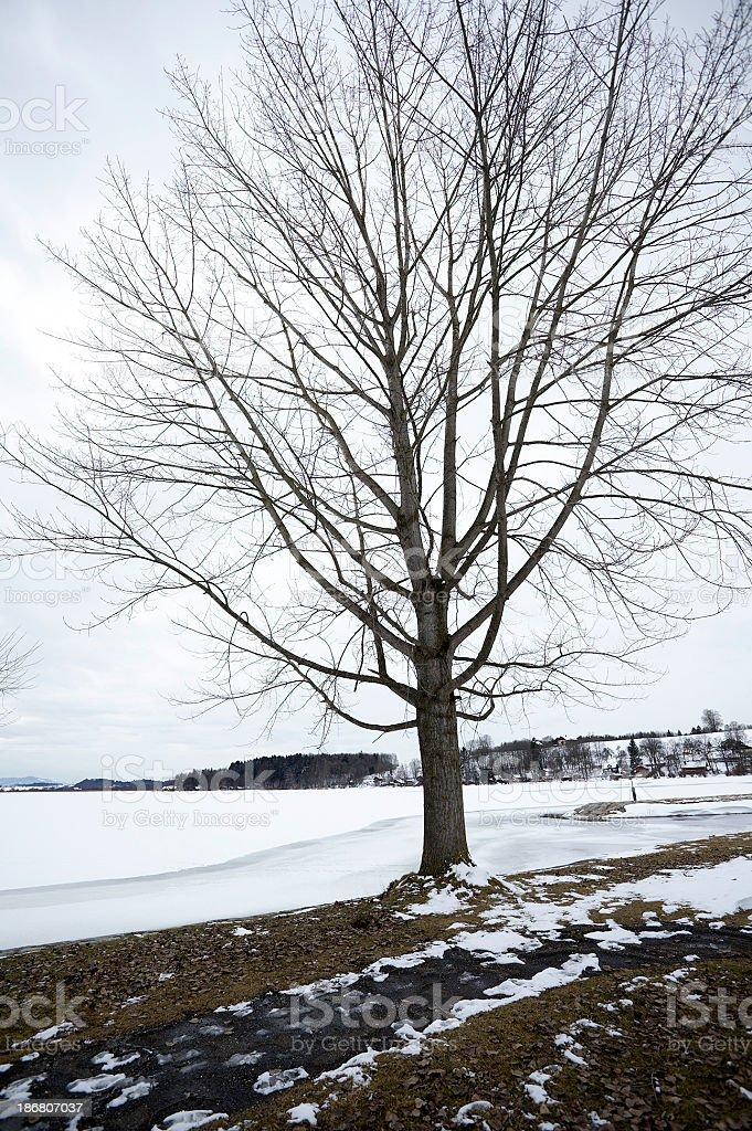 tree with snow royalty-free stock photo
