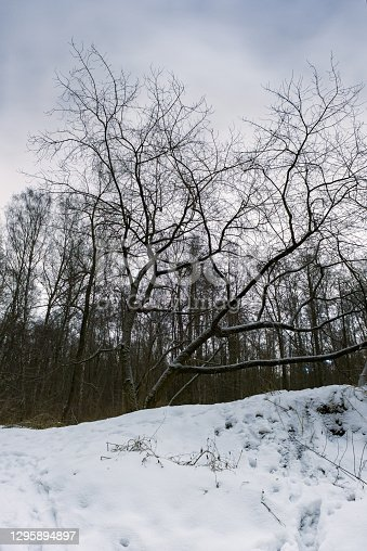 A tree with snow-covered branches spread out to the surrounding forest stands alone on a cold winter night under a cloudy sky on a snowy hill.