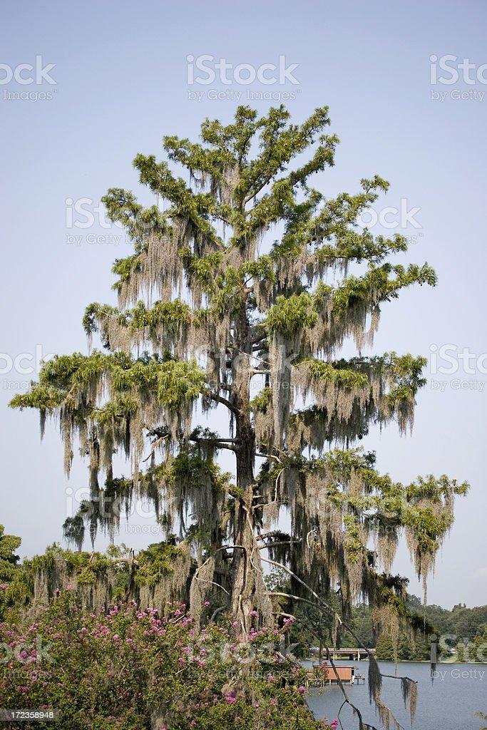 Tree with Spanish Moss royalty-free stock photo