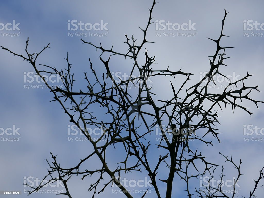 Tree with thorns stock photo