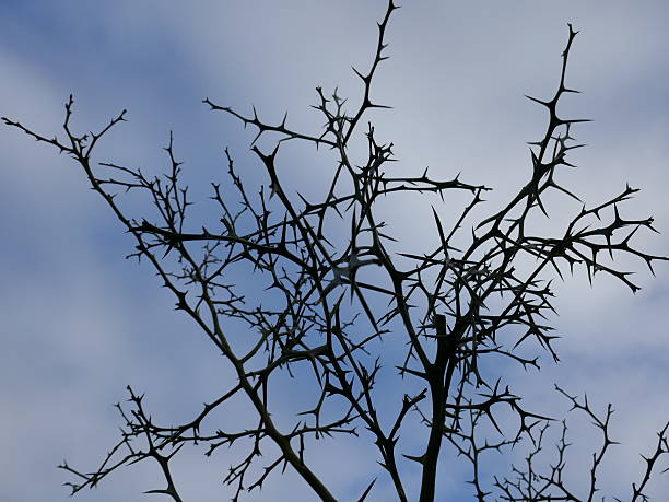 tree with thorns - sharp stock photos and pictures
