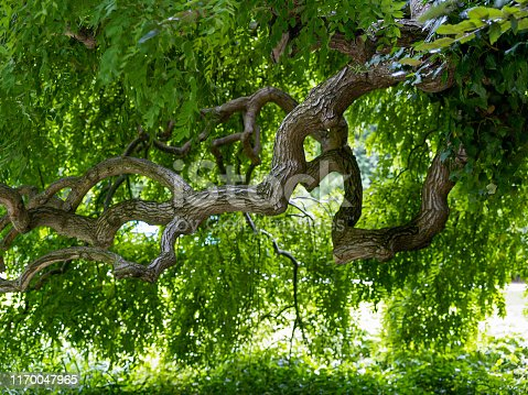 tree with twisted branches and lush green leaves