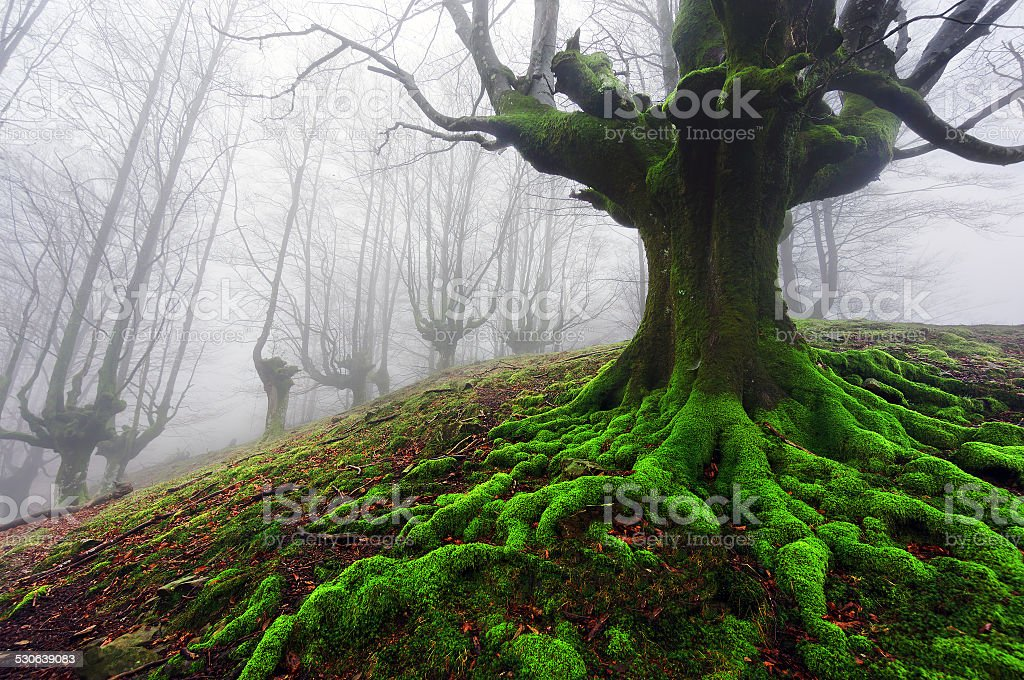 tree with twisted roots stock photo