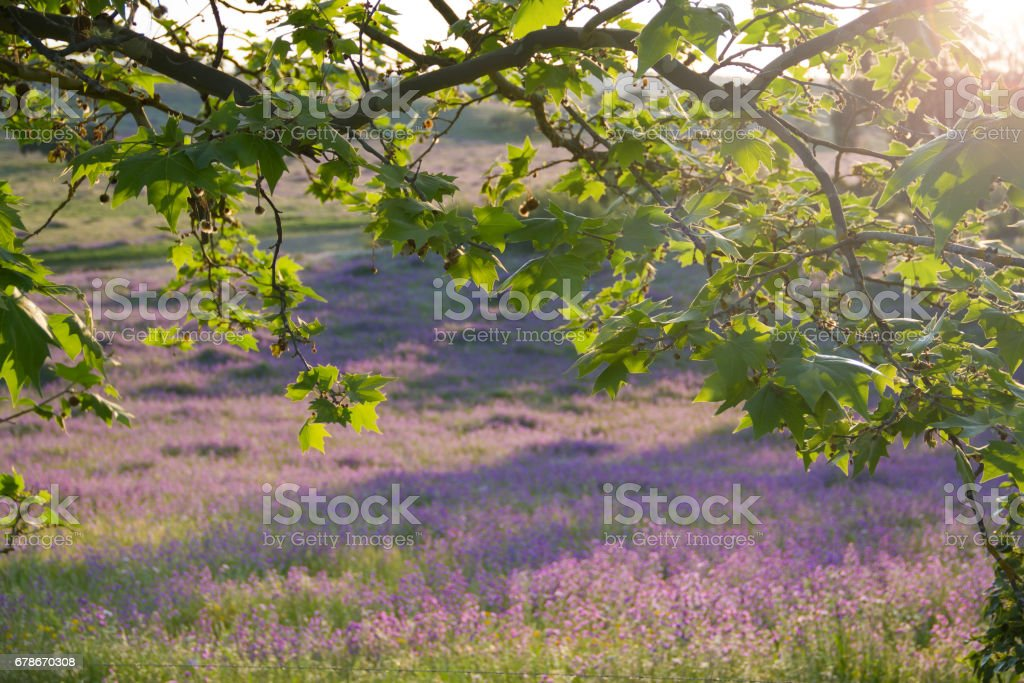 tree with view on field in evening summer light stock photo