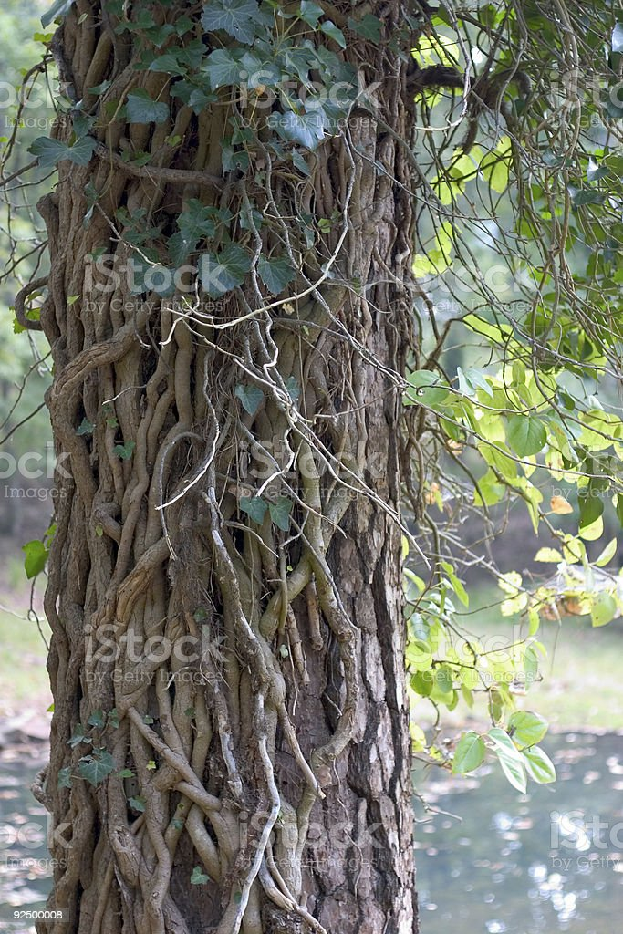 tree with vines royalty-free stock photo