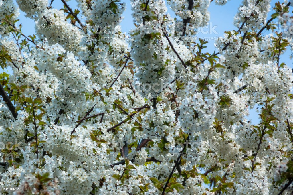 Baum mit weißen Blüten im vorderen blauen Himmel - Lizenzfrei Ast - Pflanzenbestandteil Stock-Foto