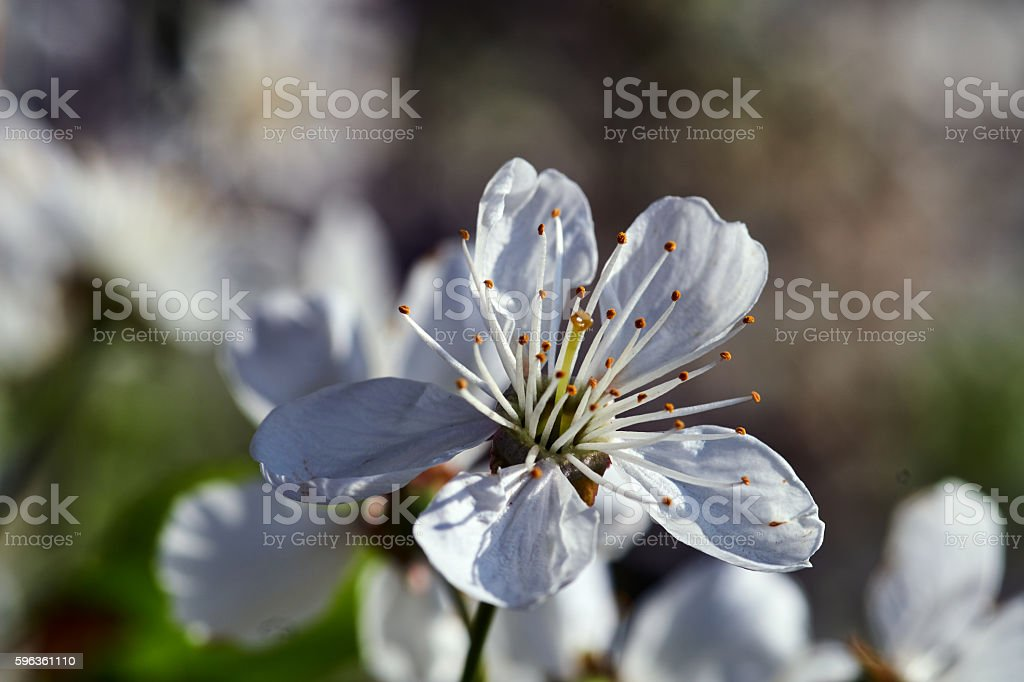 Tree with white flowers in the spring royalty-free stock photo