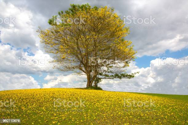 Photo of Tree with yellow flowers against the cloudy sky
