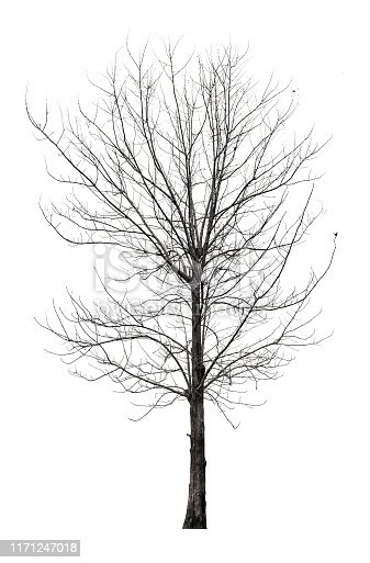 Tree without leaves isolated on white background with clipping path