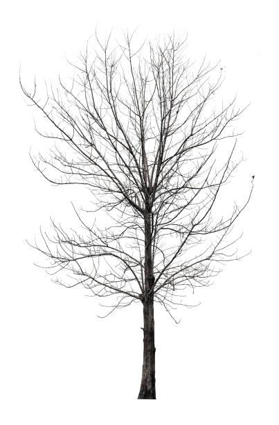 Baum ohne Blätter isoliert auf weißem Hintergrund mit Clipping-Pfad – Foto