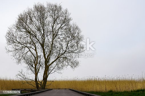 tree without leaves silhouette on a background of fog and lake shore reeds