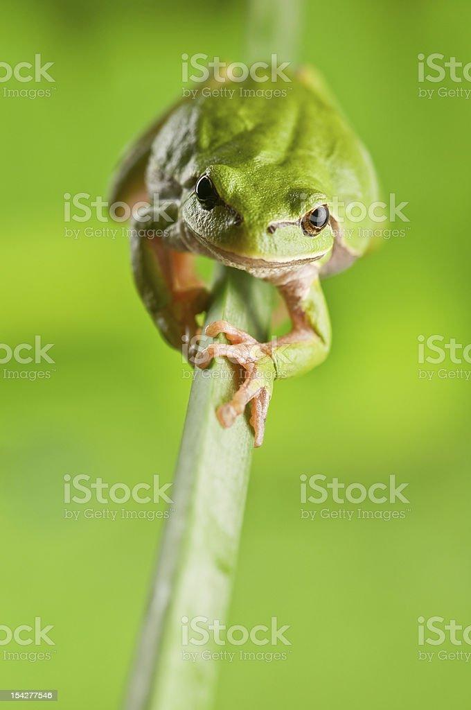 tree_frog royalty-free stock photo