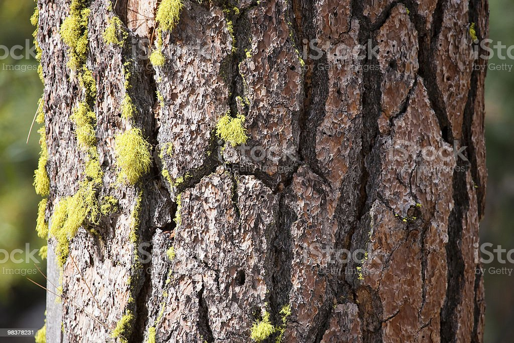 Treebark with moss royalty-free stock photo