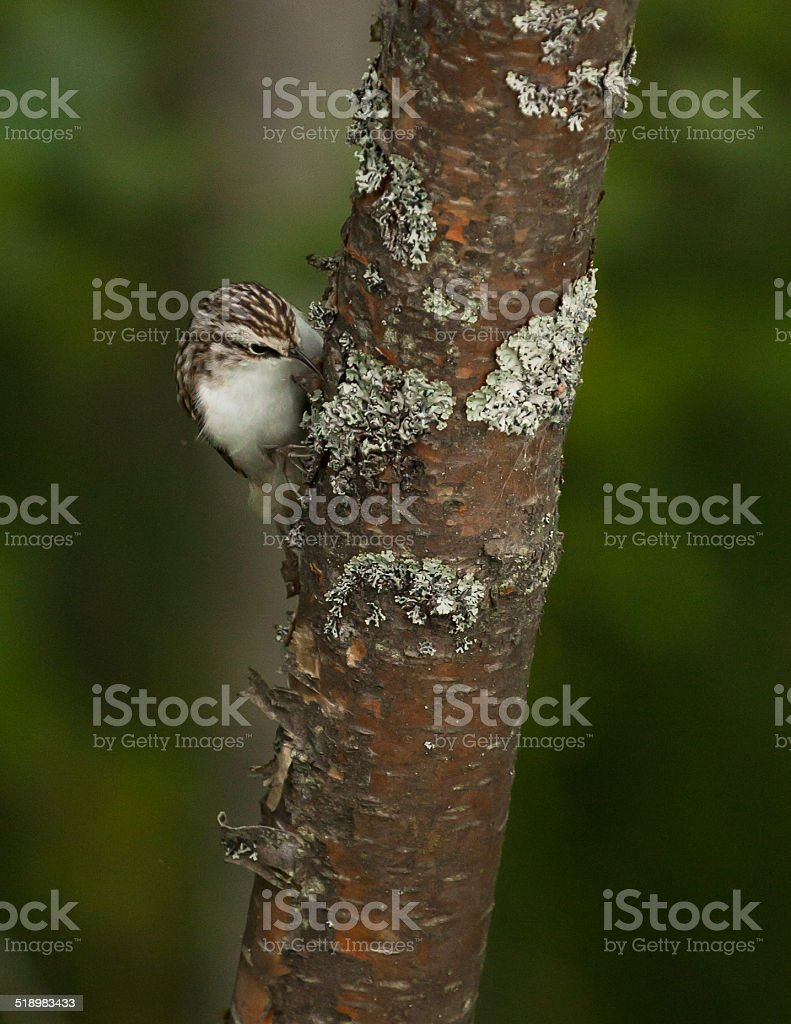 Treecreeper climbing a tree stock photo