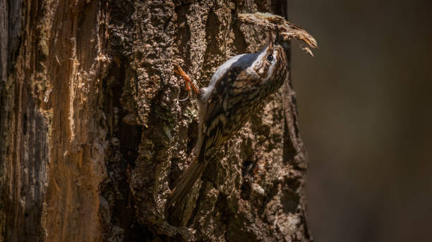 Treecreeper Saltwels Nature Reserve. stock photo