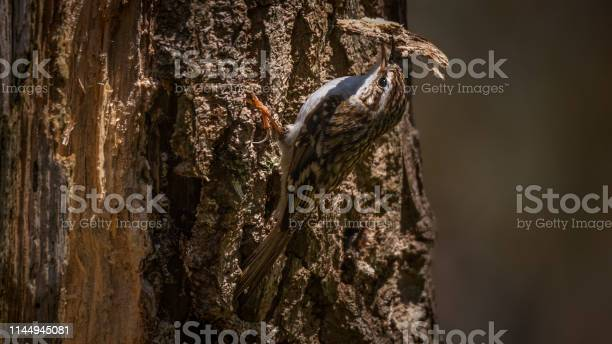 Treecreepers are mottled brown above, white or whitish beneath, and have stiff tails, used in the manner of woodpeckers' as support when climbing, and large feet with sharp, arched claws.