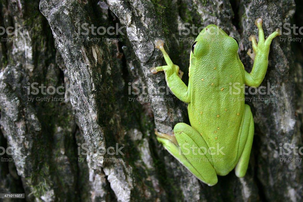 Treefrog Closeup stock photo
