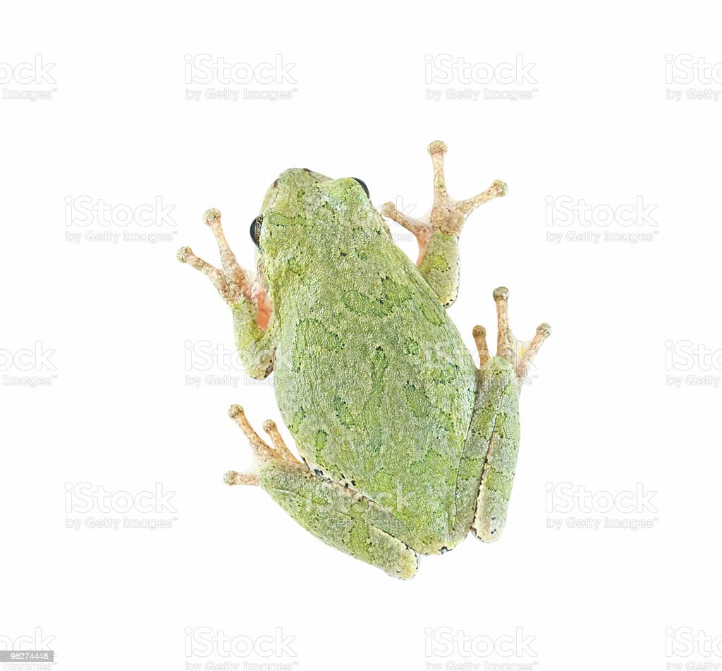 Treefrog Isolated on White (clipping path) royalty-free stock photo