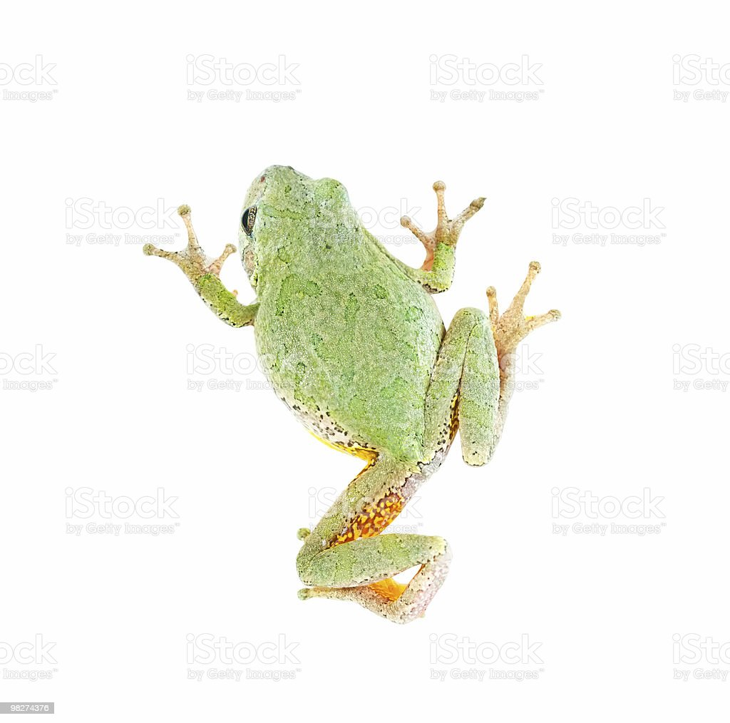 Treefrog on White, Back View (clipping path) royalty-free stock photo