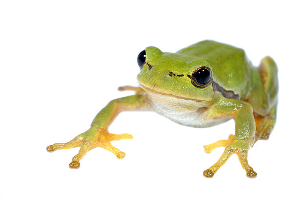 Tree-frog on white background - close-up stock photo