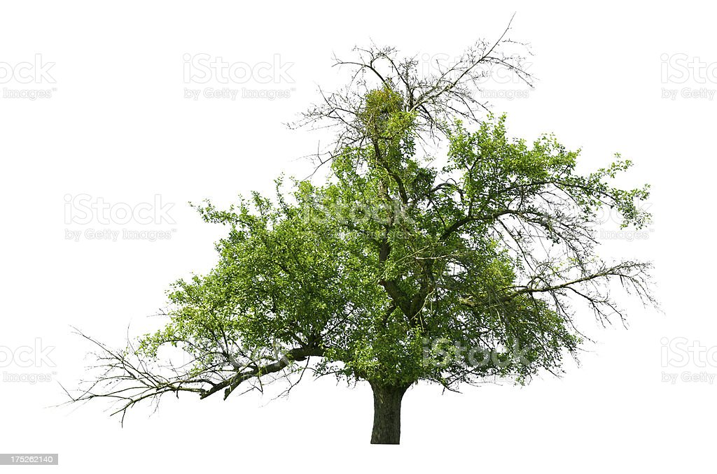 Tree-in summer - old apple tree royalty-free stock photo