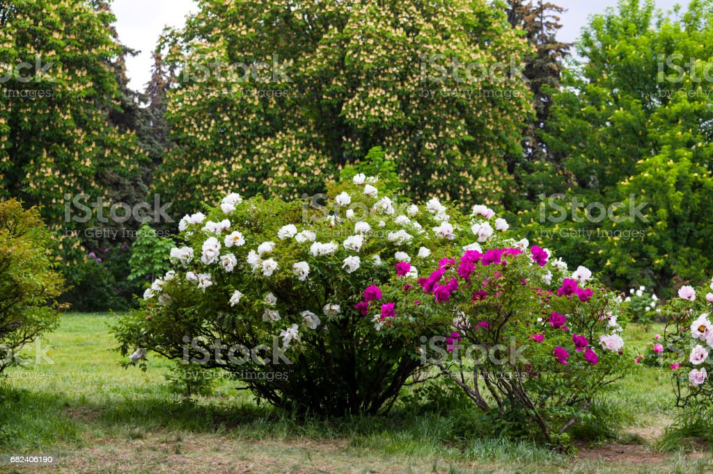 Tree-like peony royalty-free stock photo