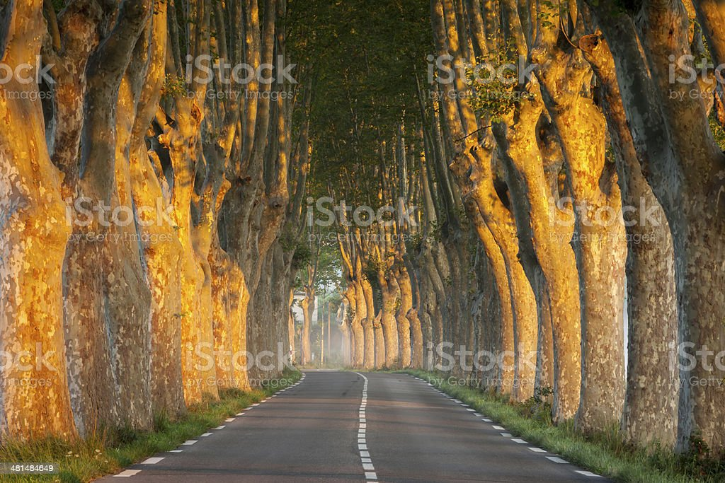 Tree-lined avenue at sunrise, Provence, France stock photo