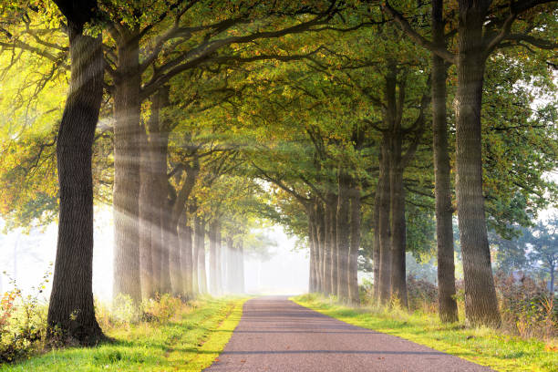 Treelined country road back lit in sunlight with atmospheric sunbeams in morning fog stock photo