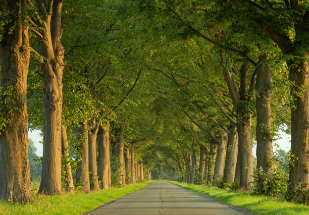Treelined county road in morning sunlight stock photo