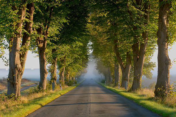 Treelined road at sunrise in fog (XXL) stock photo