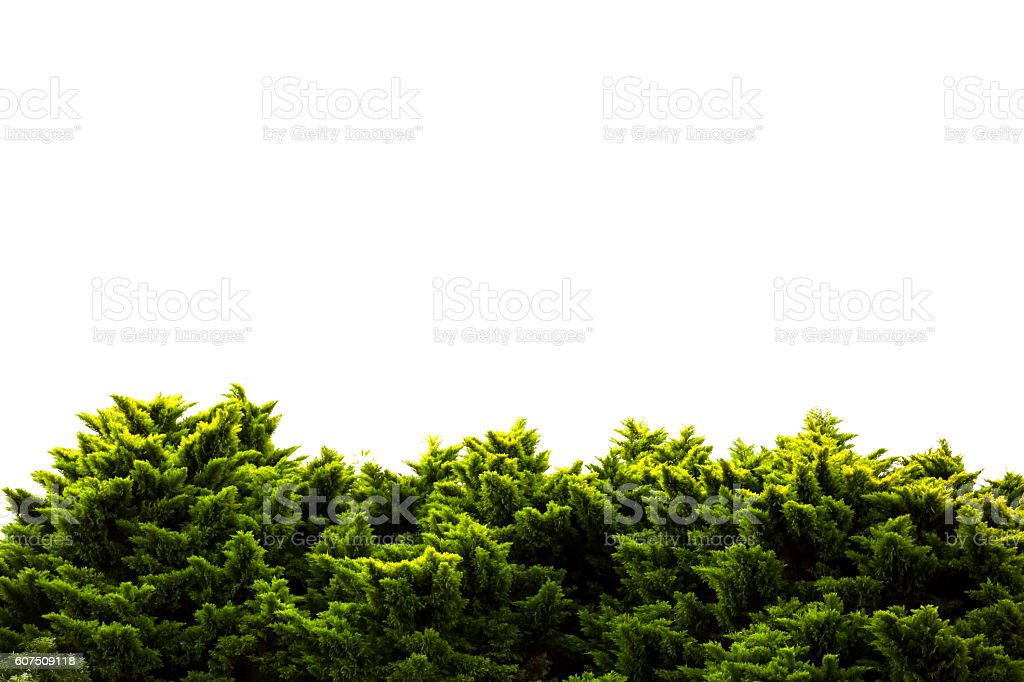 Trees against white background, nature background with copy space – Foto